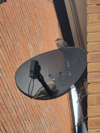Nearly time to fledge: the Doves have made full use of the s…